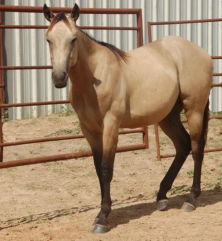 Rocking N Ranch - American Quarter Horses since 1970
